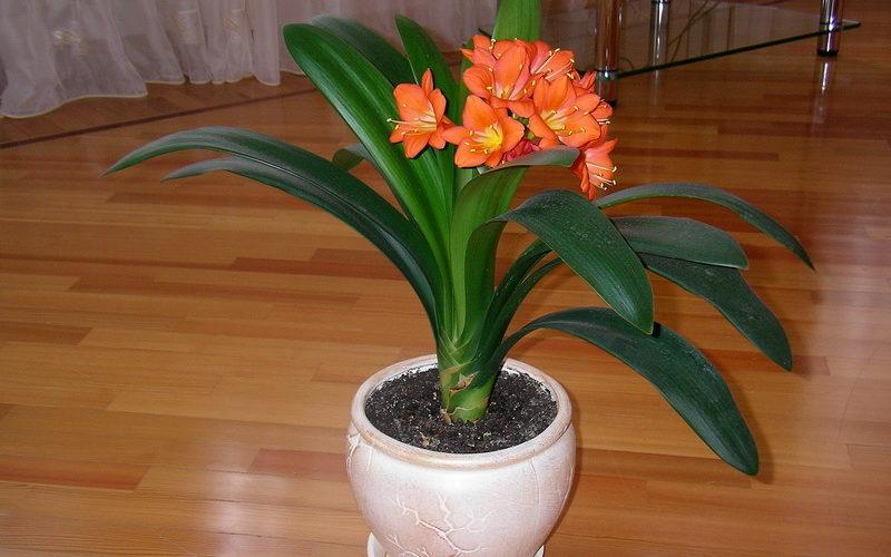 Домашний цветок с оранжевыми цветами