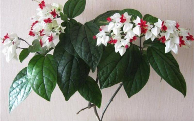 Комнатное растение с бело-красными цветами