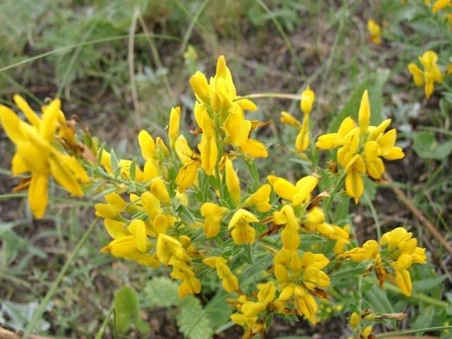 Кустарниковое степное растение с желтыми цветами
