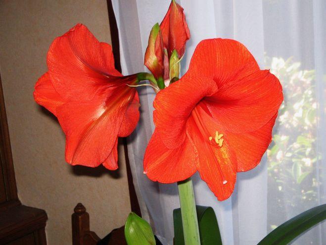 Комнатный цветок с большими красными цветами