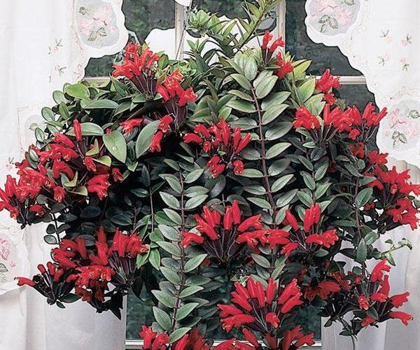 Как называется этот домашний цветок с красными цветами?