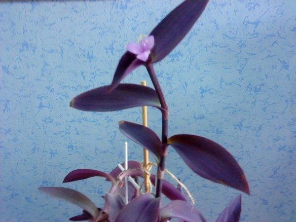 Домашний цветок с фиолетовыми цветами — помогите с названием