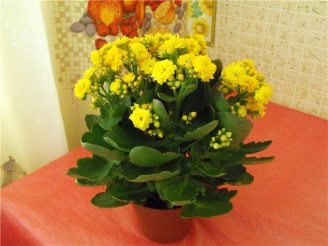 Цветок с мелкими желтыми цветочками