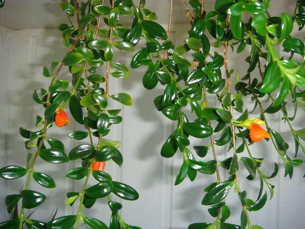 Цветок с блестящими зелеными листьями