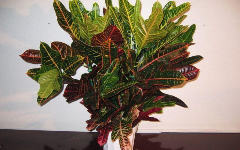 Как называется комнатный цветок с листьями как у дуба?