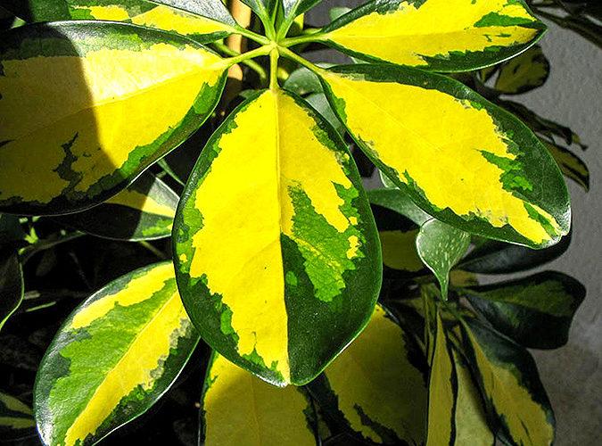 Название цветка с желто-зелеными листьями