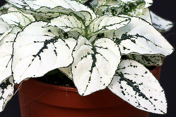 Комнатное растение с белыми листьями