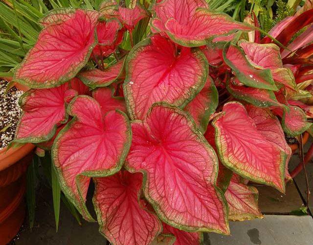 Что за цветок с большими красными листьями?