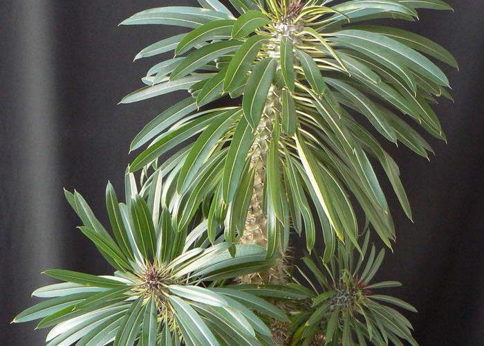 Комнатное растение похожее на кактус с листьями