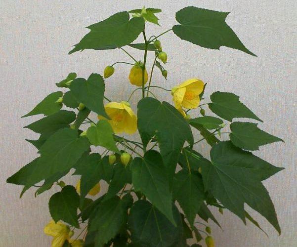 Цветок как дерево с большими листьями