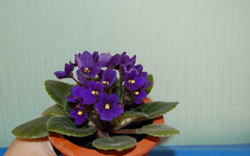 Цветок, похожий на незабудку с большими листьями