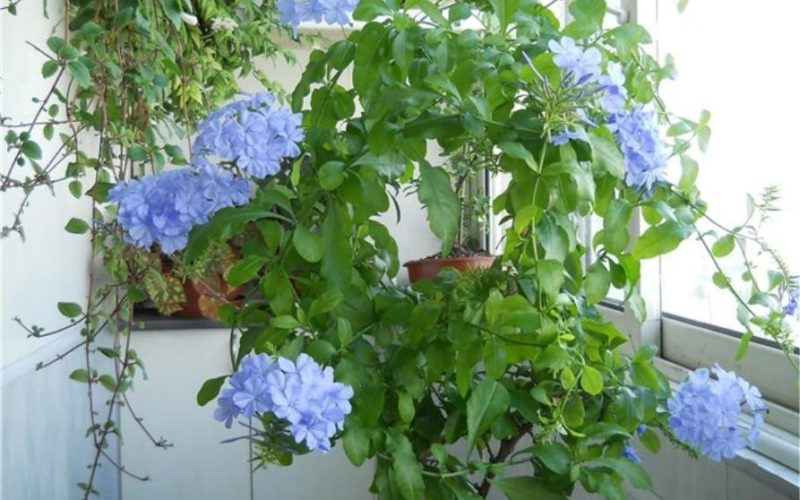 Что за комнатный цветок с голубыми цветами?