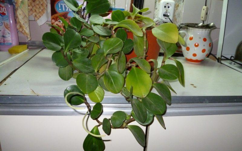 Как называется домашний цветок с восковыми листьями?