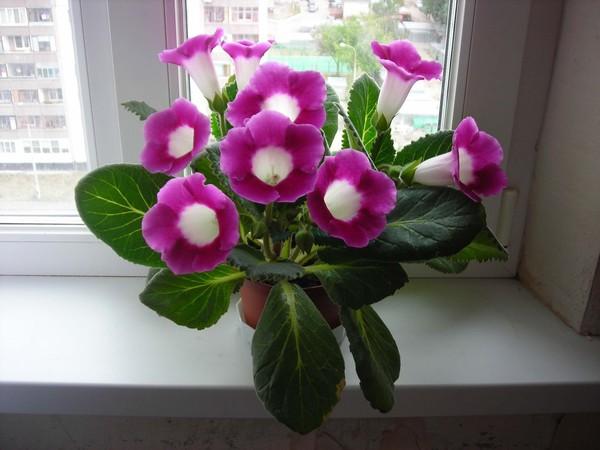 Как называется домашний цветок с колокольчиками?