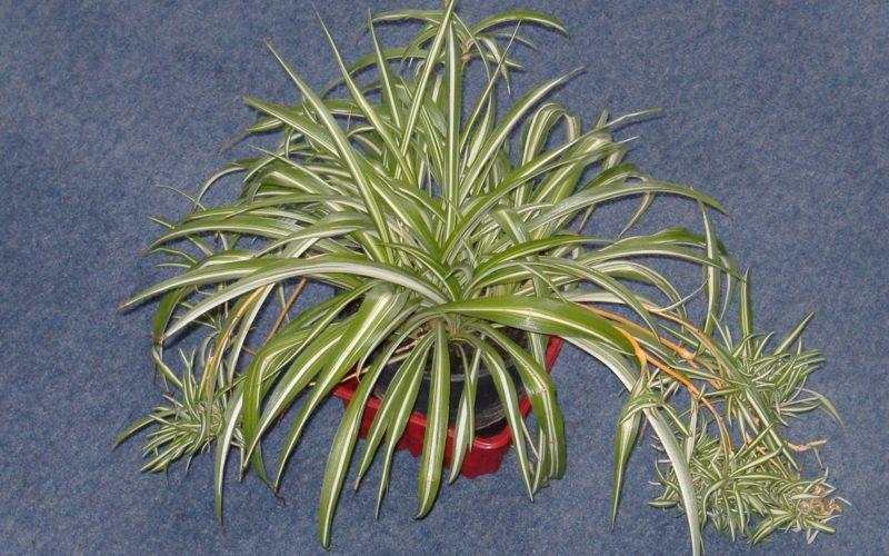 Домашнее растение с узкими листьями