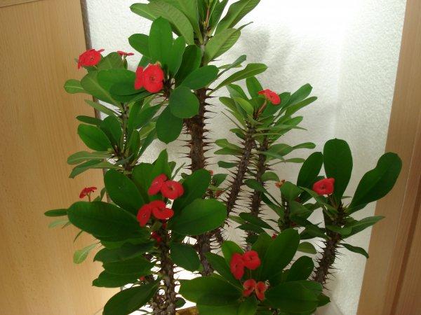 Как называется комнатнное растение с колючками?
