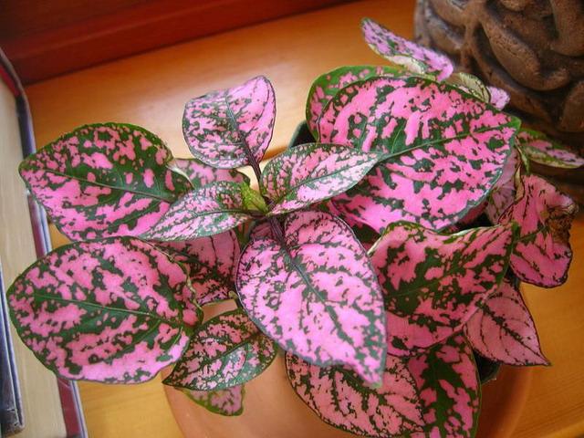 Комнатное растение с зелено-розовыми листьями