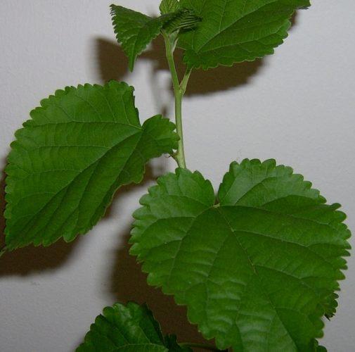 Комнатное растение с шершавыми листьями