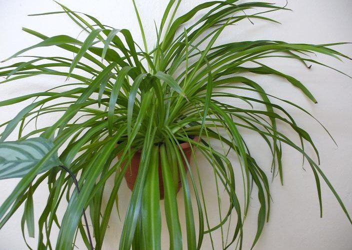 Комнатное растение с удлиненными листьями
