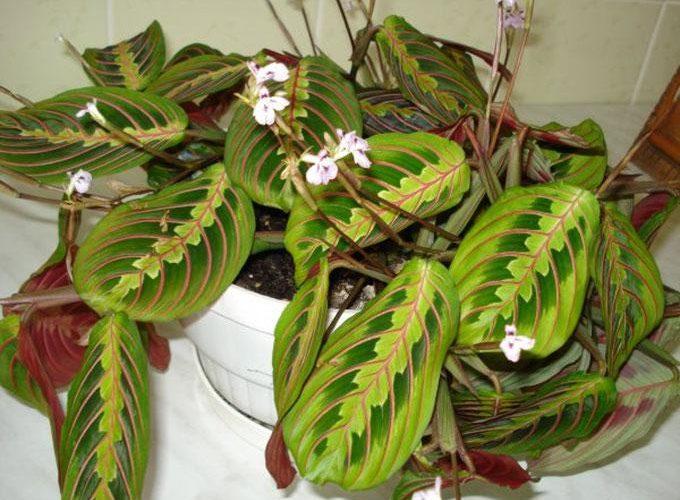 Комнатное растение с трехцветными листьями