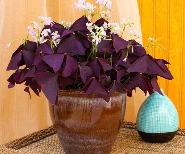 Домашний цветок с фиолетовыми листьями треугольником