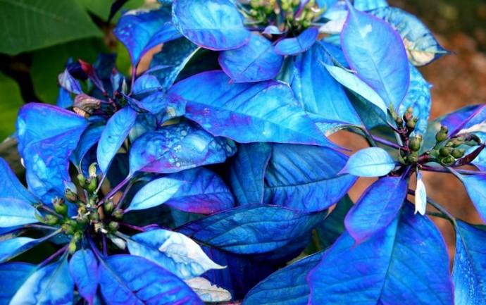 Комнатное растение с синими листьями