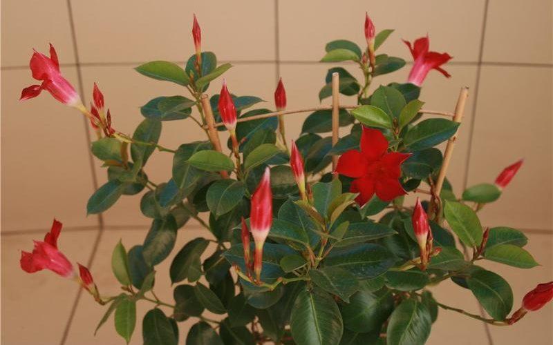 Комнатный вьющийся цветок с красными цветами