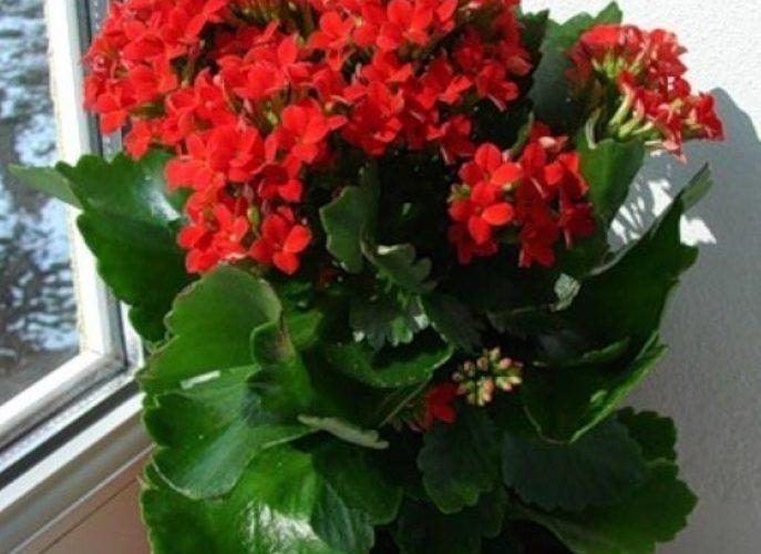 Комнатное растение с мелкими красными цветочками