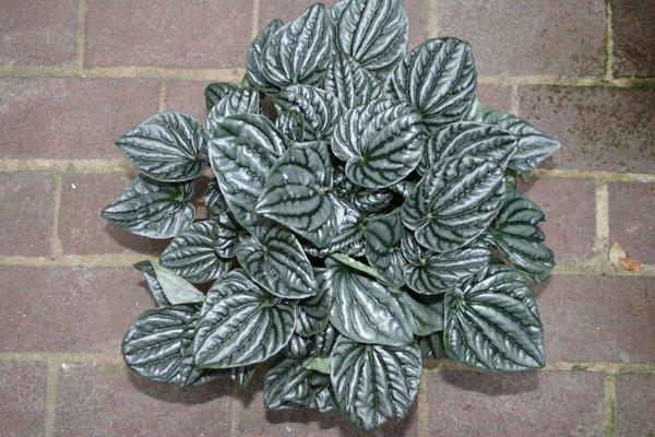 Что за домашний цветок с серебристыми листьями