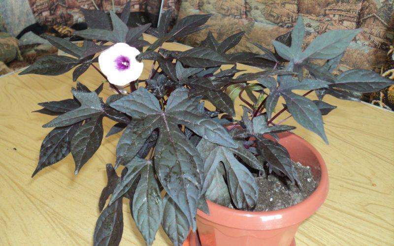 Как называется цветок с большими резными листьями?