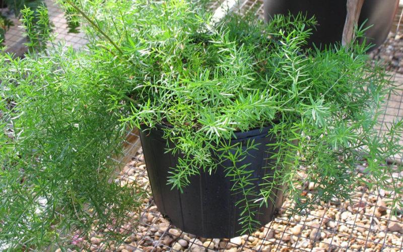 Комнатное растение с мягкими листьями