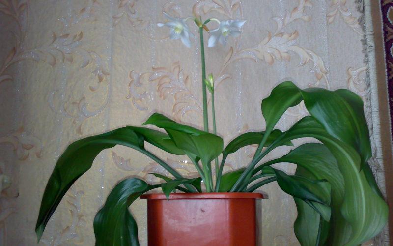 Домашний цветок с большими зелеными листьями