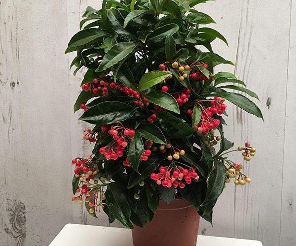 Название комнатного цветка с красными ягодками