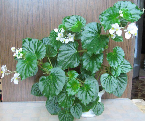 Комнатное растение с кислыми листьями