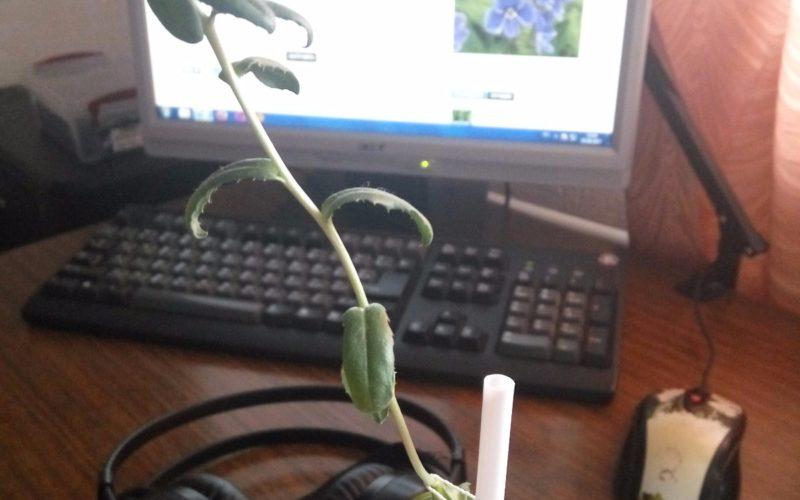 Зеленое растение, листья с маленькими зубчиками, желтый цветок