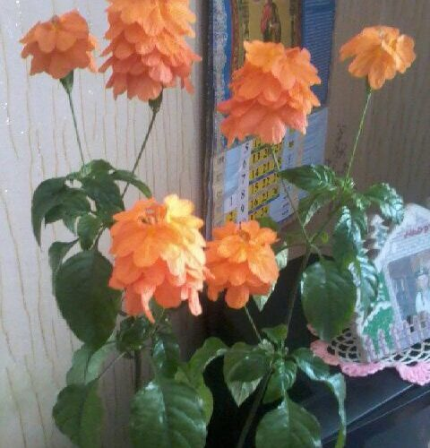 Что за цветок дома? Зеленое растение с оранжевыми цветами