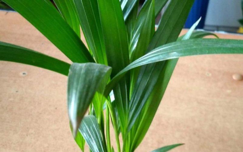 Зеленая пальма с вытянутыми листьями