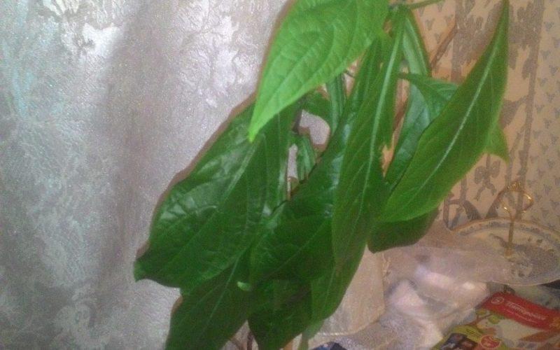 Растение с зелеными продолговатыми листьями