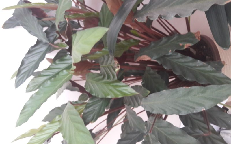 Растение с зелеными листьями, не цветущее