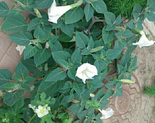 Зеленое растение с простыми желтыми цветами