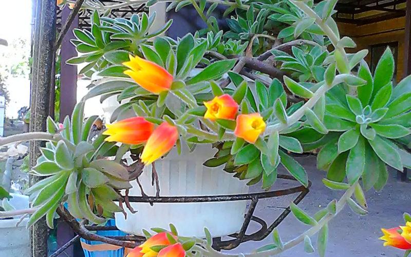 Зеленое растение с красно-желтыми цветами