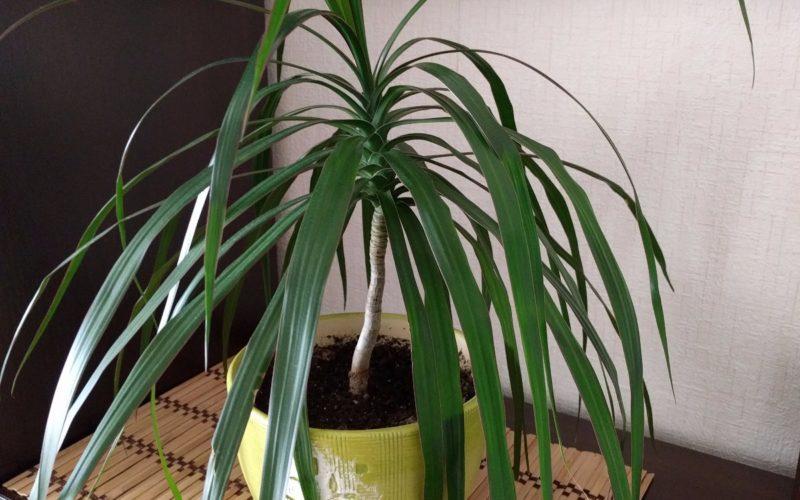 Растенение похоже на пальму