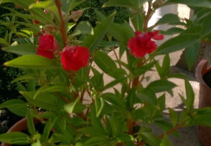 Зеленое растение с удлиненными листьями и красными цветами