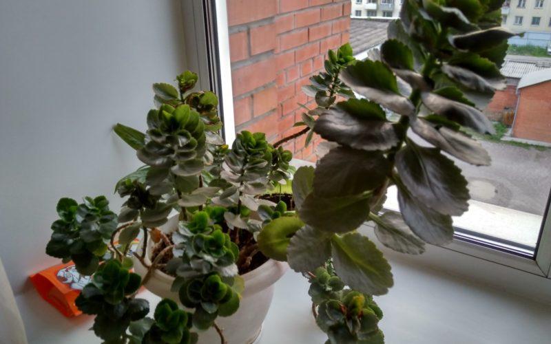 Зеленое растение с кисточками из мелких красных цветочков.
