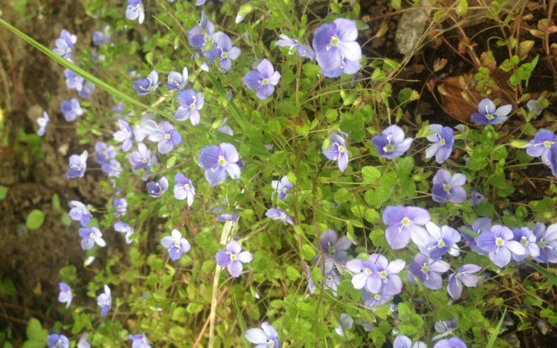 Почвопокровное, цветёт с апреля до сих пор