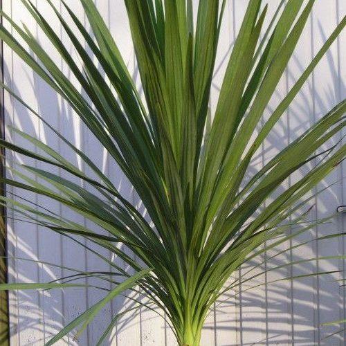 Темно-зеленое растение с твердыми прямыми листьями