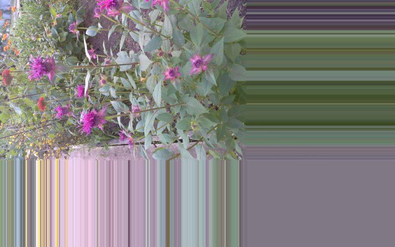 Растение типа мелкого кустарника