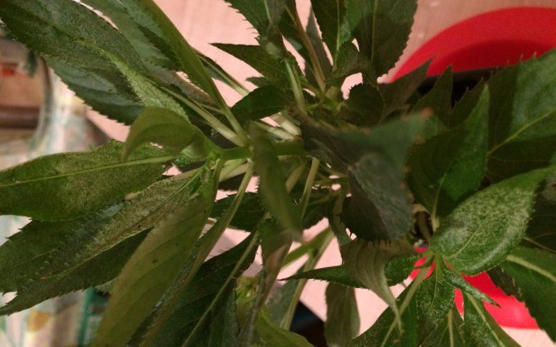 Зеленое растение с белыми цветками