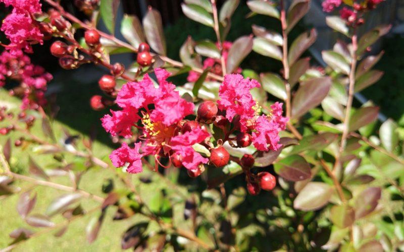 Кустарник или деревце с цветами (цвет фуксия)