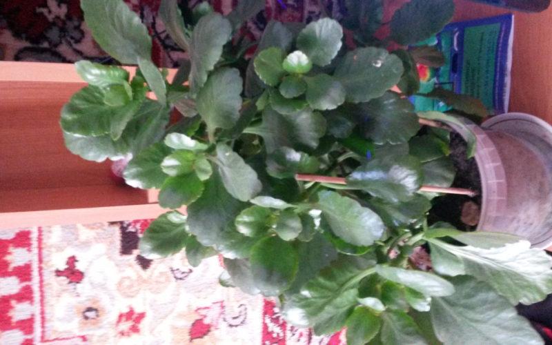 зеленое растение с плотными кожистыми листьями